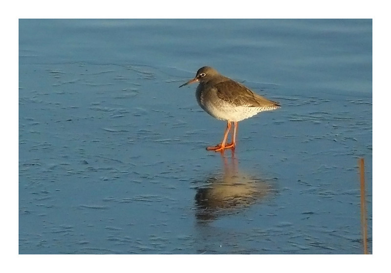 Redshank (Tringa totanus), Wilstone Reservoir, Hertfordshire, 01/01/2010. My earliest shot of this species.