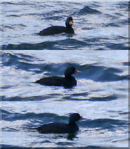 Common Scoter (Melanitta nigra), College Lake, Nr Tring, Hertfordshire, 19/10/2011. Heavy crops, very distant record shots.