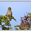 """Meadow Pipit (Anthus pratensis), Ivinghoe Beacon, Hertfordshire, 22/08/2011. """"Pipit with an eye on the berries!"""""""