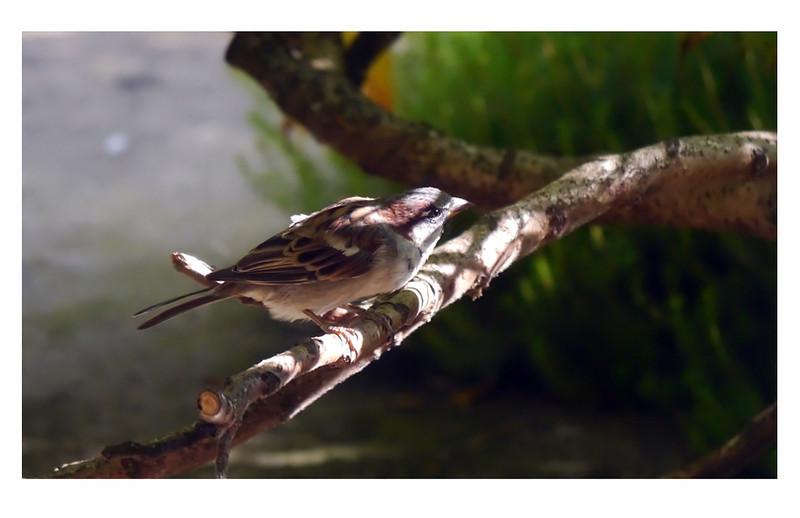 House Sparrow (Passer domesticus) [male], Hemel Hempstead garden, Hertfordshire, 19/08/2011