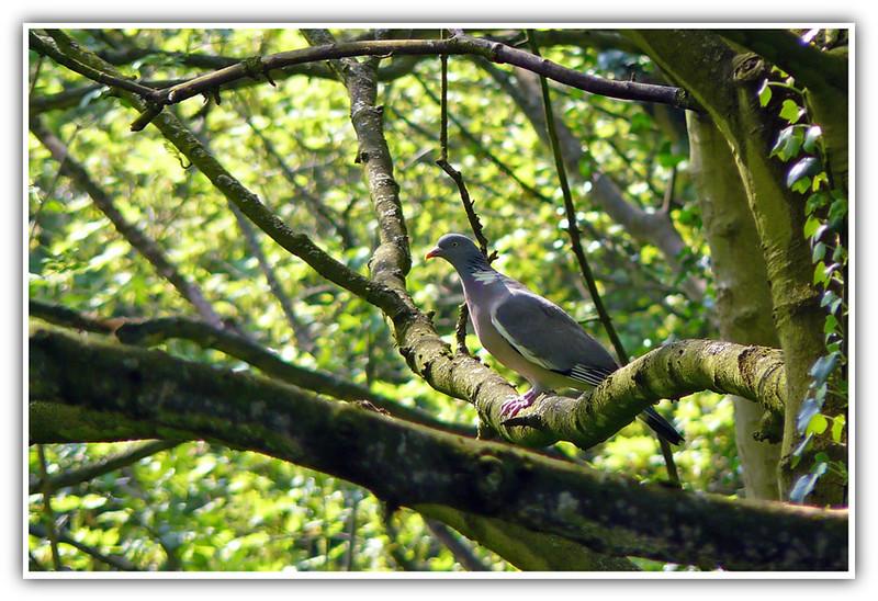 Woodpigeon (Columba palumbus), Hemel Hempstead, Hertfordshire, 17/04/2011