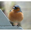 Chaffinch (Fringilla coelebs) [male], Hemel Hempstead garden, Hertfordshire, 04/04/2009. This bright and brave male Chaffinch took to attacking the patio doors and kitchen window for a number of weeks in April. He was fearless. I could get as close as I pleased! However, this was taken through the patio doors (1 of 2)