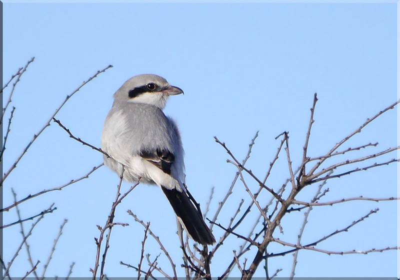 Great Grey Shrike (Lanius excubitor), Norton Green, Hertfordshire, 19/01/2012.