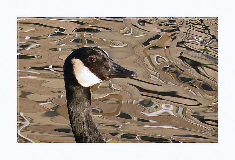 Canada Goose (Branta canadensis), Hemel Hempstead, Hertfordshire, 24/01/2008. The reflections in the water were the buildings along the river Gade - made for a nice arty shot.