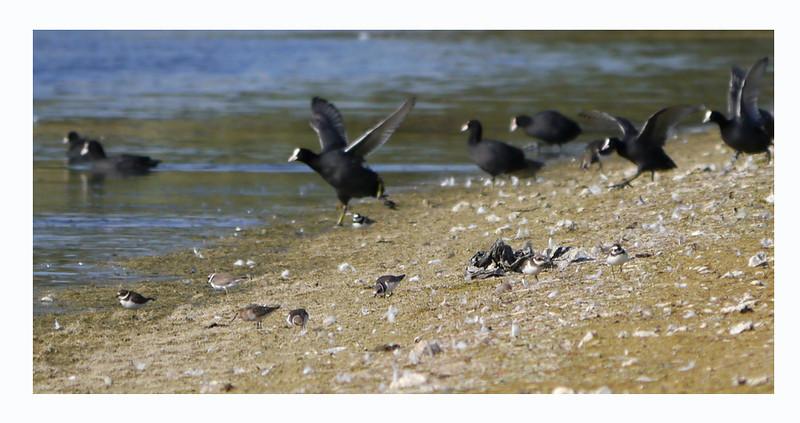 (Eurasian) Coot (Fulica atra); Ringed Plover (Charadrius hiaticula) [7]; Dunlin (Calidris alpina) [1, juvenile], Wilstone Reservoir, Hertfordshire, 01/09/2011.
