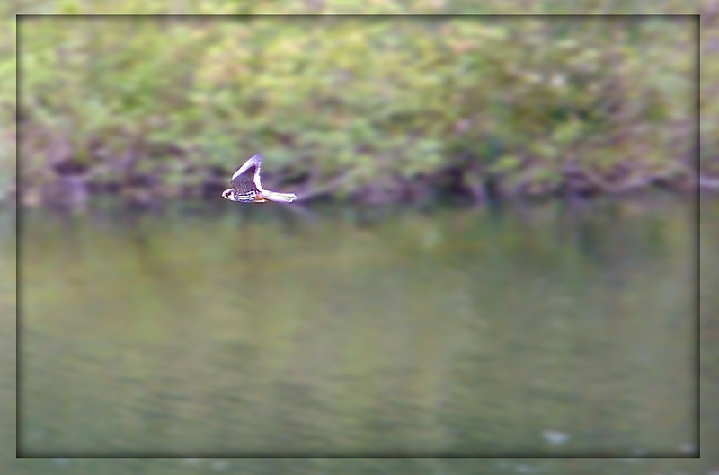 Hobby (Falco subbuteo), College Lake, Near Tring, Hertfordshire, 13/05/2011. Distant record shot (the only one I have of this species)