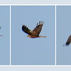 Marsh Harrier (Circus aeruginosus) [male], Rainham Marsh RSPB, Essex, 15/01/2012. My first sighting of this species. 100% crops (record shots).