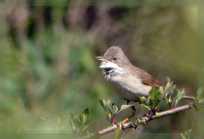 Whitethroat (Sylvia communis) [female], Ivinghoe Beacon, Buckinghamshire, 19/05/2011. An unusually close encounter! I came around the side of a bush and this lady was just there. I'm not sure who got the biggest surprise. I fired off a couple of frames before she flew.