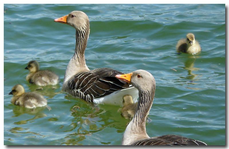 Greylag Goose (Anser anser) [family], Wilstone Reservoir, Hertfordshire, 02/05/2011