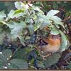 Brambling (Fringilla montifringilla), Hemel Hempstead garden, Hertfordshire, 24/10/2010