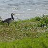 Barnacle Goose (Branta leucopsis), RSPB Minsmere, Suffolk, 13/05/2012.