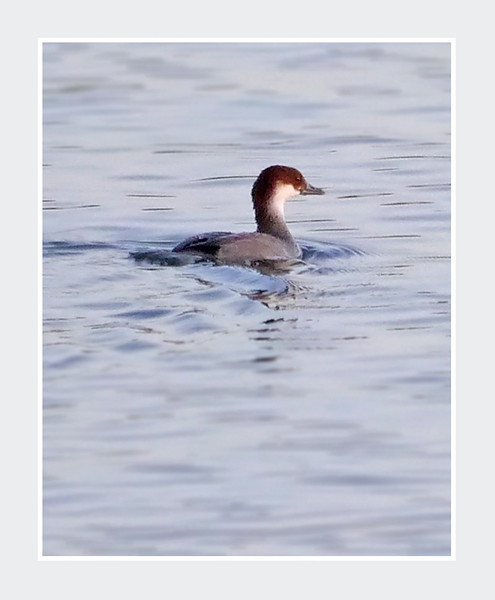 Smew (Mergus albellus) (female), Wilstone Reservoir, Tring, Hertfordshire, 27/11/2011