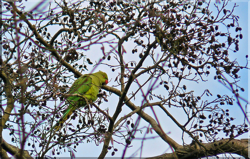 Ring-necked Parakeet (Psittacula krameri), Stocker's Lake, Nr Rickmansworth, Hertfordshire, 13/12/2009.