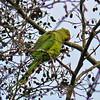 Ring-necked Parakeet (Psittacula krameri), Stocker's Lake, Nr Rickmansworth, Hertfordshire, 13/12/2009.