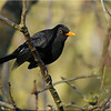 Blackbird (Turdus merula) [male], St Albans Watercress Wildlife Association LNR, Hertfordshire, 20/12/2011
