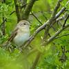 Garden Warbler (Sylvia borin), Ivinghoe Hills, Top Scrub, Buckinghamshire, 11/05/2012