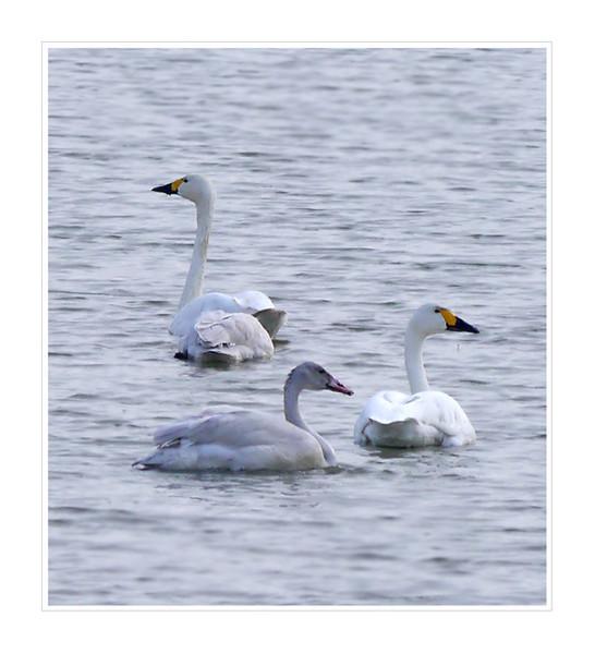 Bewick's Swans (Cygnus columbianus), Wilstone Reservoir, Hertfordshire, 16/11/2011. Family party.