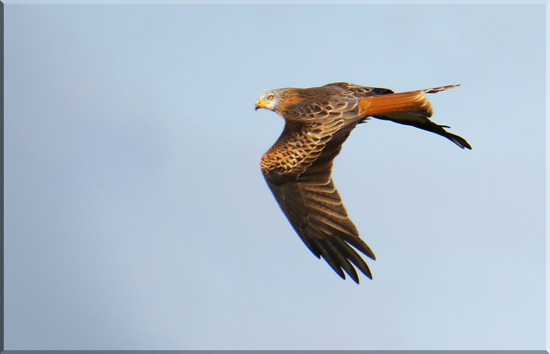Red Kite (Milvus milvus), Gallows Bridge Nature Reserve, Buckinghamshire, 7/12/2011