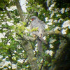Red-footed Falcon, Wilstone Reservoir, Hertfordshire