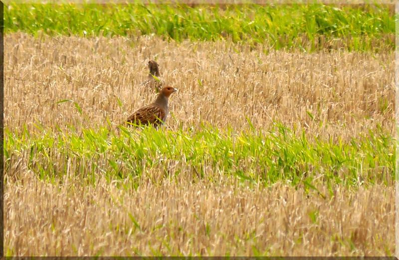 Grey Partridge (Perdix perdix), Near Kelshall, Hertfordshire, 01/11/2011