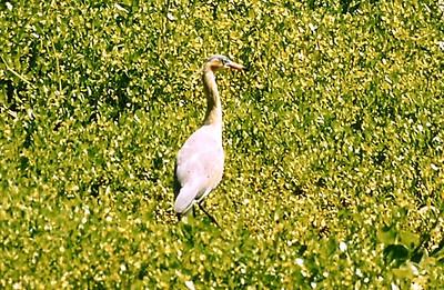 005Whistling Heron013