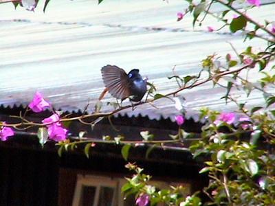 Paradise Flycatcher_0148