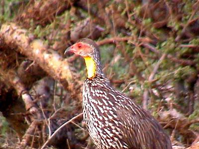 Yellow necked Spurfowl_0127