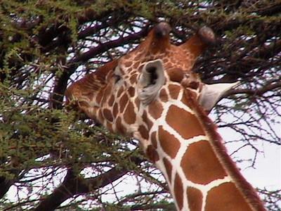 Giraffe_0133