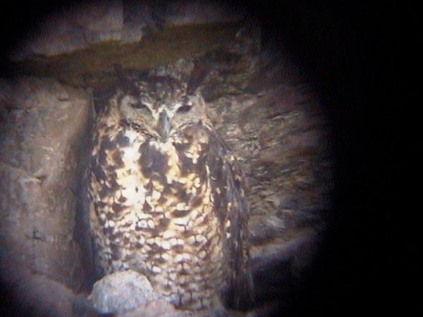 Cape Eagle Owl_0160