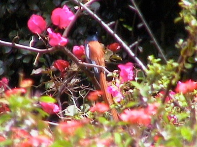 Paradise Flycatcher_0147