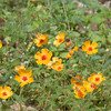 These resemble Mexican poppies but are different.  Seen along a road, south of Green Valley