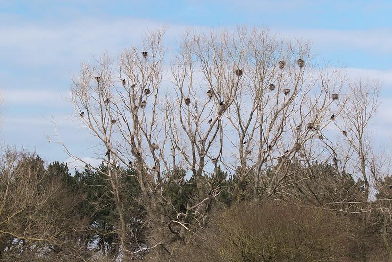 Aalscholver, Cormorant (Phalacrocorax carbo)