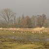 Anser anser, grauwe gans in Dutch (just south of De Waai)