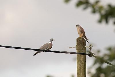 Torenvalk en houtduif, Kestrel and Common Wood Pigeon (Milvus milvus) and Columba palumbus), Nutchat Barn, Grove Farm, Minster Lovell, Oxfordshire