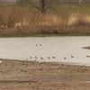 Welke meeuw?, op de achtergrond Mareca penelope, smient in Dutch (Kersbergserak)