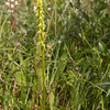 Herminium monorchis (honingorchis), Nationaal Park Lauwersmeer