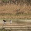 Grauwe gans - Anser anser (Lepelaarsplassen, excursie met Natuur- en Vogelwacht Vijfheerenlanden)