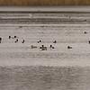 Tafeleend en slobeend (Lepelaarsplassen, excursie met Natuur- en Vogelwacht Vijfheerenlanden)