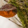 Auricularia auricula-judae - judasoor - (Lepelaarsplassen, excursie met Natuur- en Vogelwacht Vijfheerenlanden)