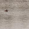 Rosse stekelstaart, Oxyura jamaicensis, an exotic North American species (Lepelaarsplassen, excursie met Natuur- en Vogelwacht Vijfheerenlanden)