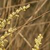 Salix alba (Lepelaarsplassen, excursie met Natuur- en Vogelwacht Vijfheerenlanden)