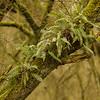 Polypodium vulgare (Lepelaarsplassen, excursie met Natuur- en Vogelwacht Vijfheerenlanden)