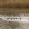 Tafeleend, kuifeend and in the distance slobeend (Lepelaarsplassen, excursie met Natuur- en Vogelwacht Vijfheerenlanden)