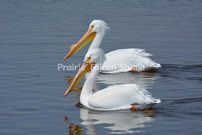 Birdland Pelicans
