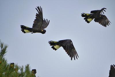 Black Cockatoos2