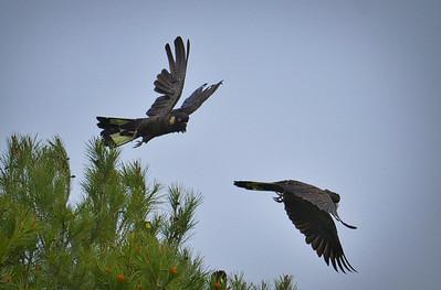 Black Cockatoos1