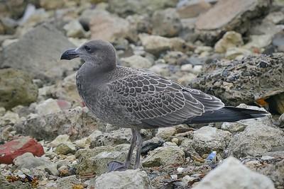 Pacific Juvenile2