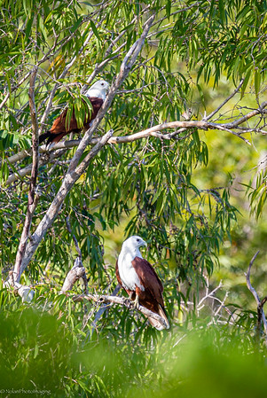 Brahminy Kite pair at perch