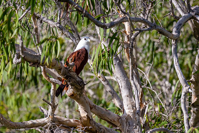 Brahminy Kite cooling off at perch