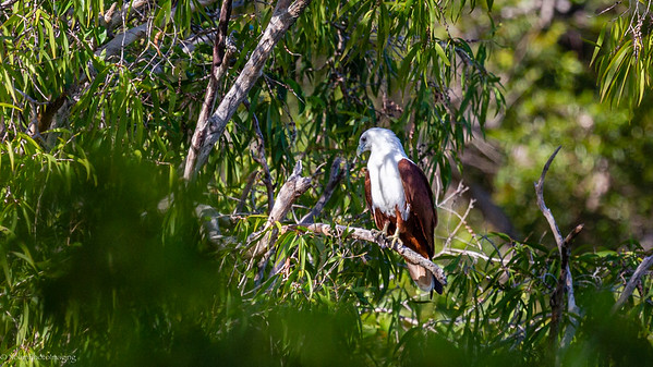 Brahminy Kite in trees and shade